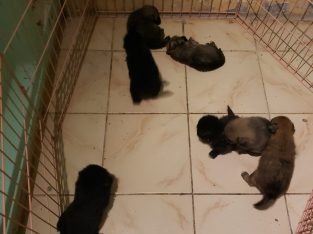 Mix pom puppies for
