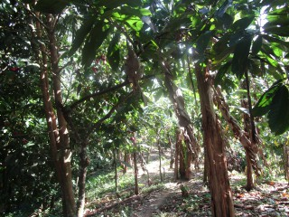 COMMERCIAL/FARM LAND FOR SALE IN GLENGOFFE, ST. CATHERINE, JAMAICA