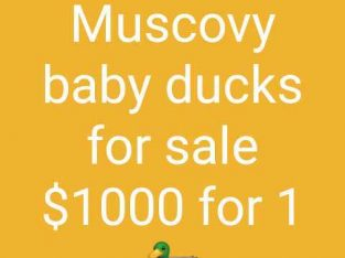 muscovy baby ducks